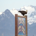 Bald eagle in Homer, Alaska