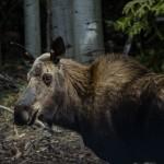 An Alaskan moose