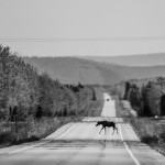 A moose crosses an Alaskan highway