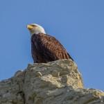 Bald eagle overlooking Whitehorse, Yukon
