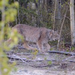 A roadside lynx near Carcross, Yukon