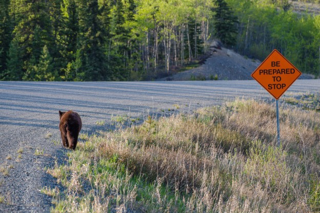 A young black bear on a Yukon road