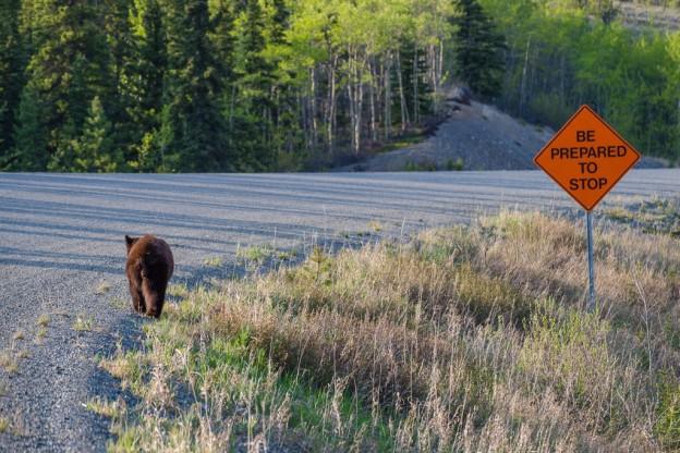 A young black bear on a Yukon road