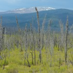 Burned forest in eastern Alaska