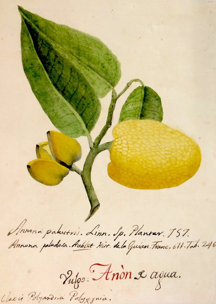 Annona palustris